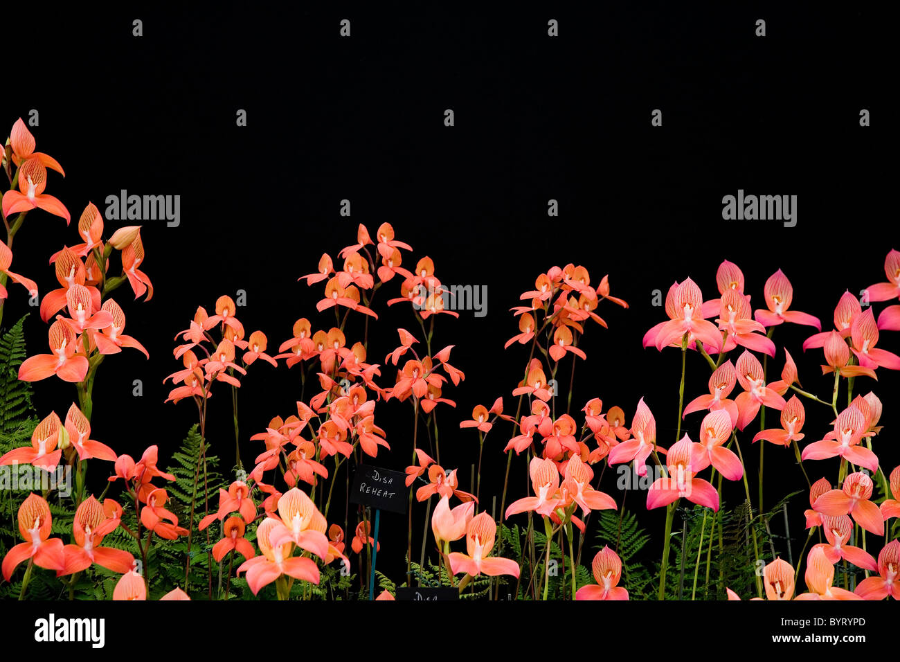 Disa flower display with bright orange and pink flowers against disa flower display with bright orange and pink flowers against black background wildlife still life image studio mightylinksfo