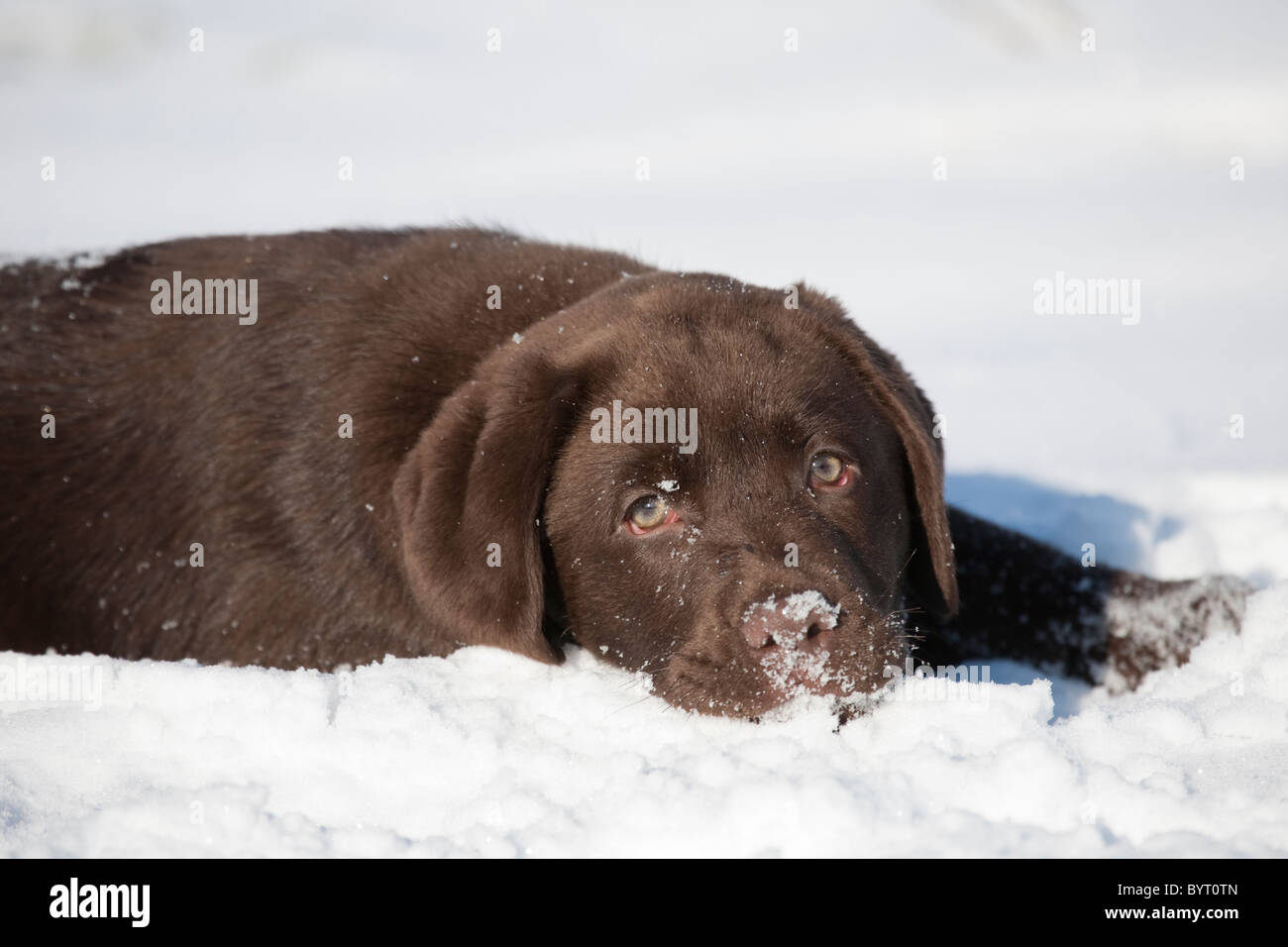 Labrador Retriever puppy in snow - Stock Image