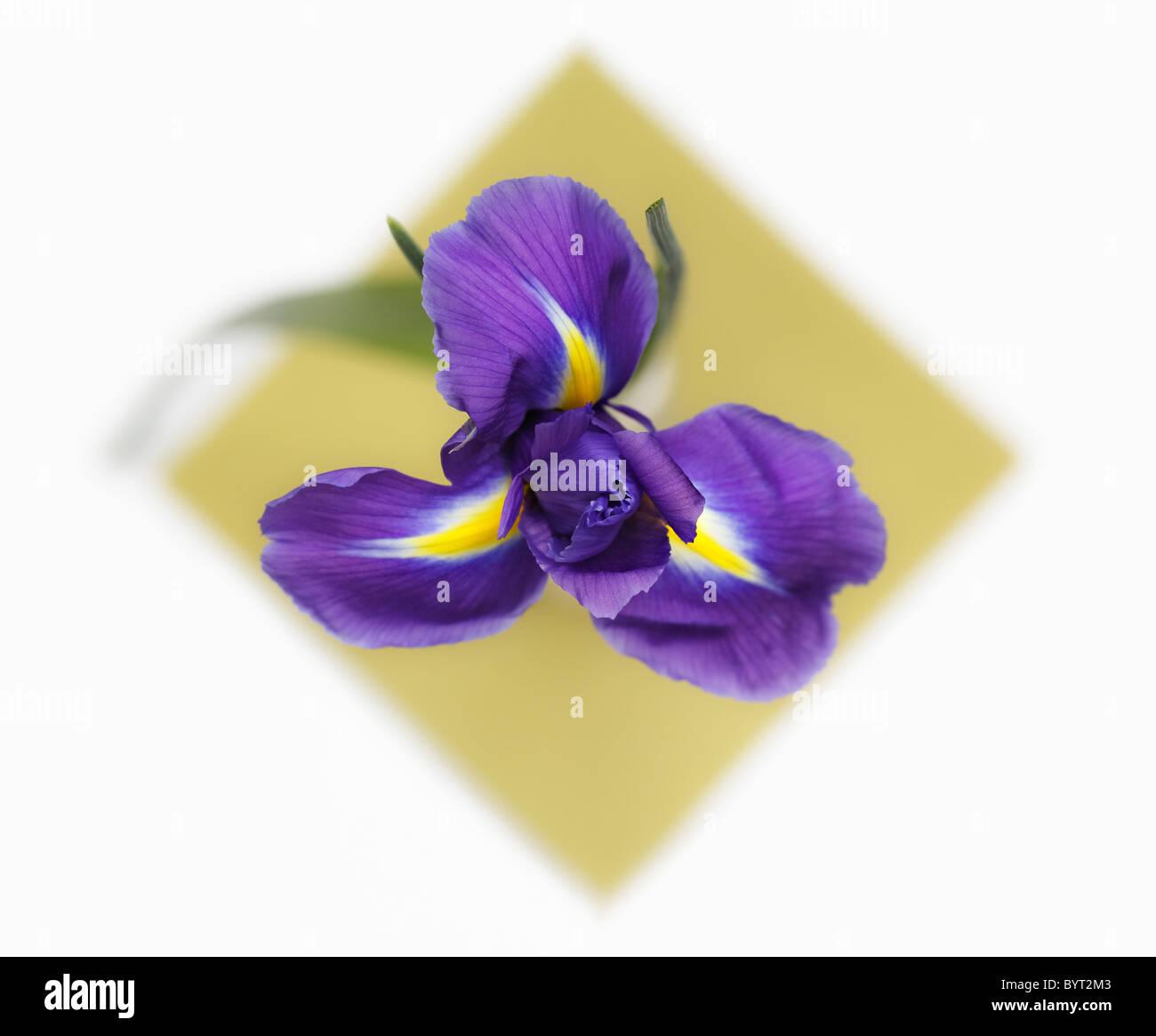 Iris overhead Stock Photo