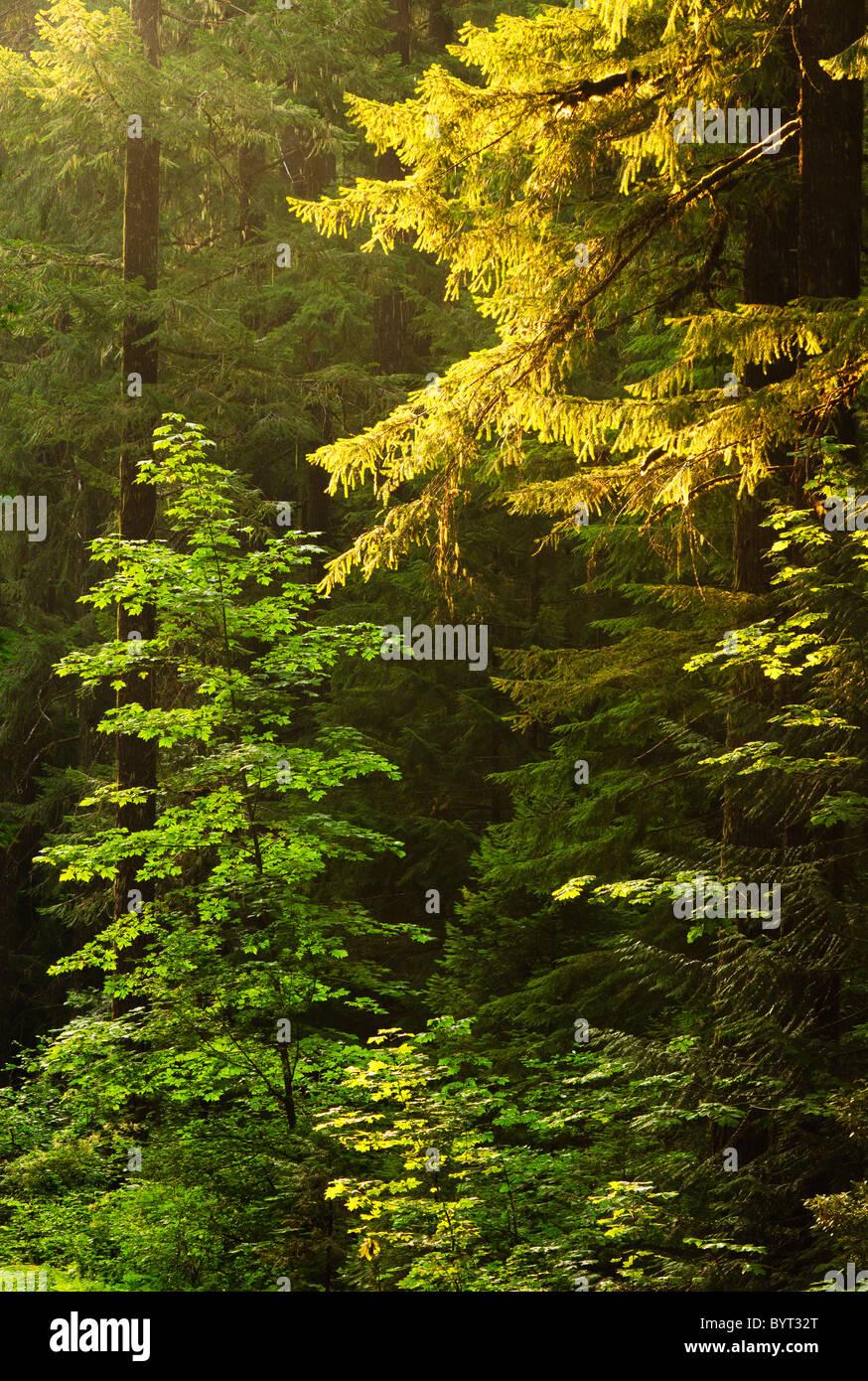 Trees in early morning light; Trailbridge Reservoir, Willamette National Forest, Oregon. - Stock Image