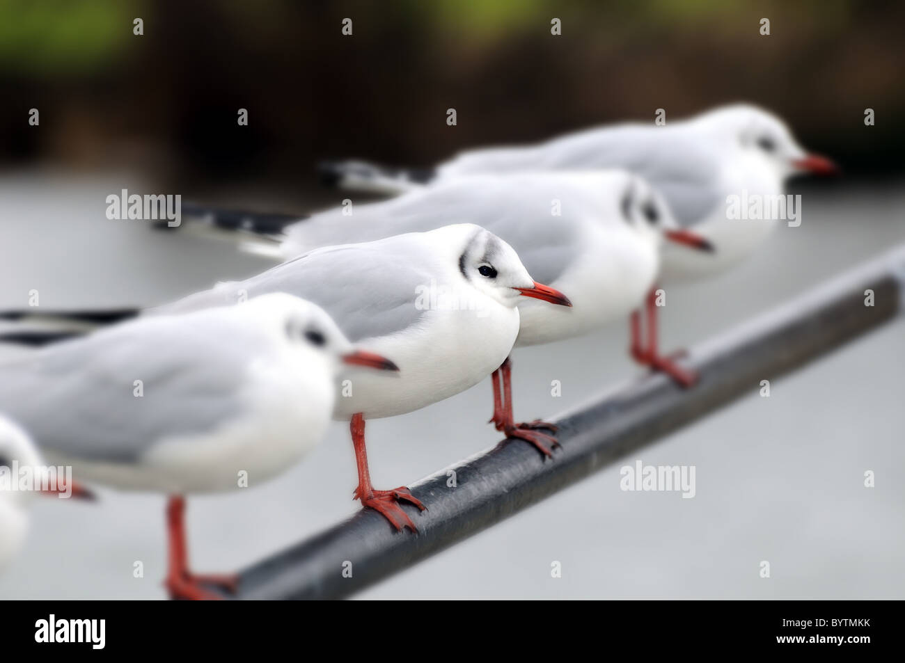 Black Headed seagulls in a row perched on rail - Stock Image