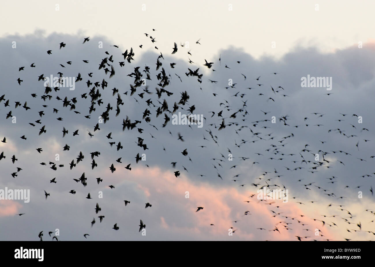 Starlings gathering to roost at Conwy RSPB reserve. - Stock Image