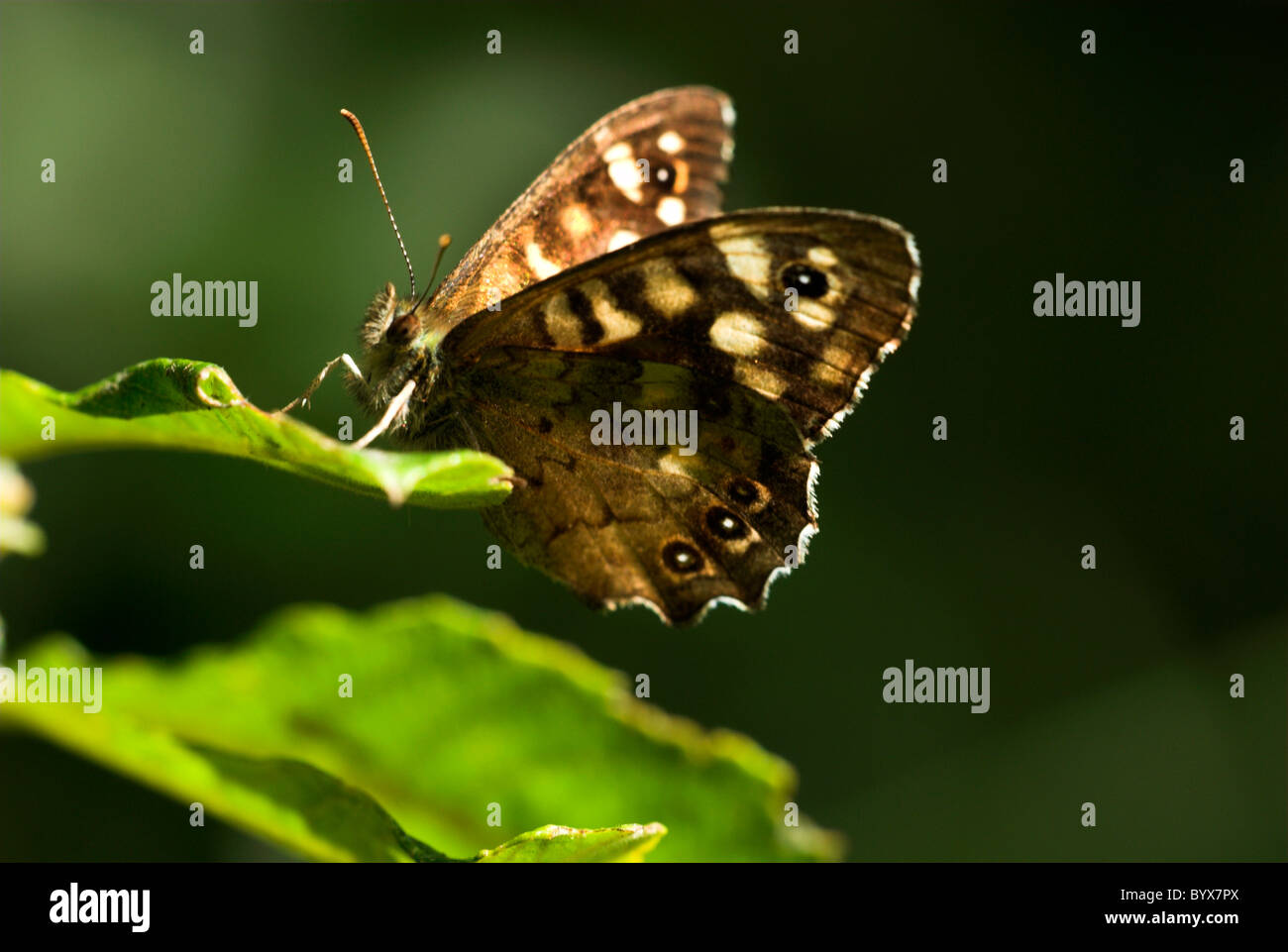 Speckled Wood Butterfly Pararge aegeria UK - Stock Image