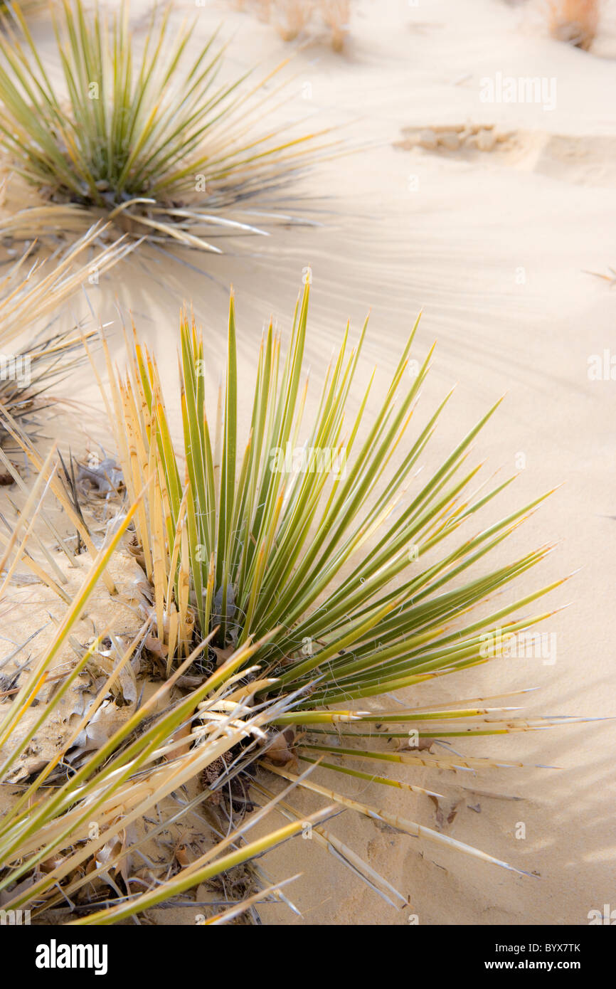 yucca plants growing in desert sand, New Mexico, USA - Stock Image