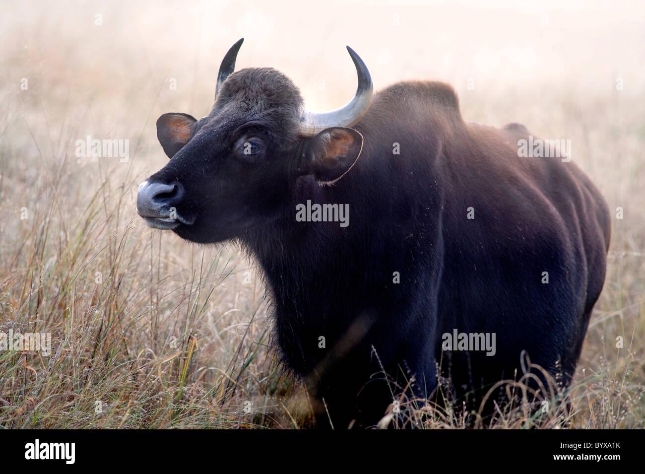 Gaur or Indian Bison Bos gaurus India - Stock Image
