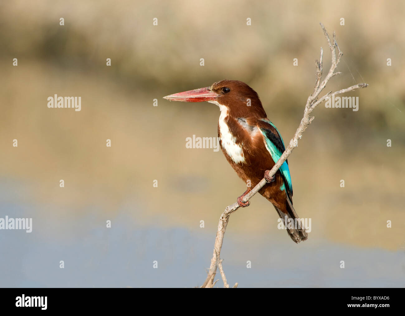 White Throated Kingfisher Halcyon smyrnensis India - Stock Image