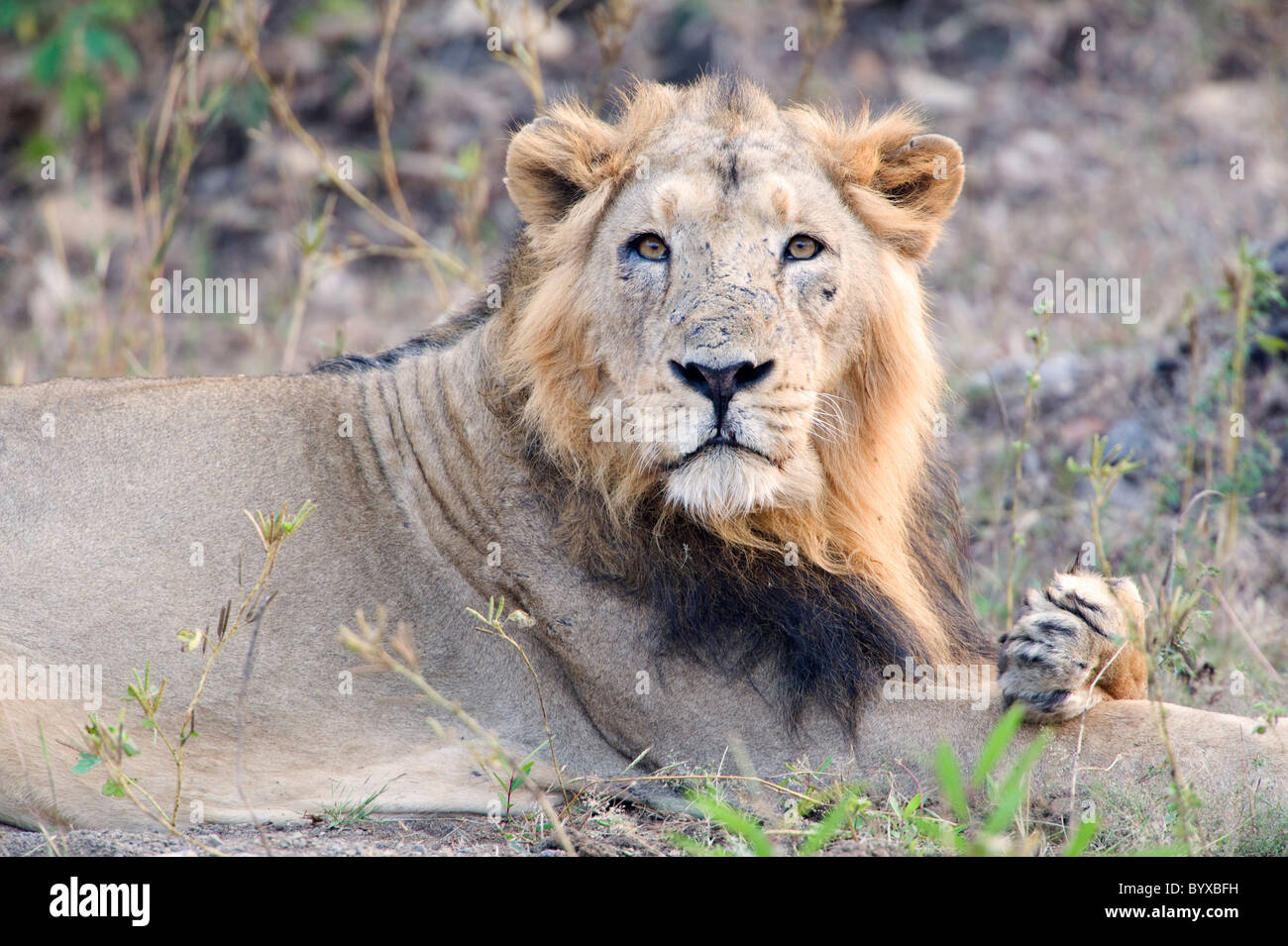 Asiatic Lion Panthera leo persica India - Stock Image