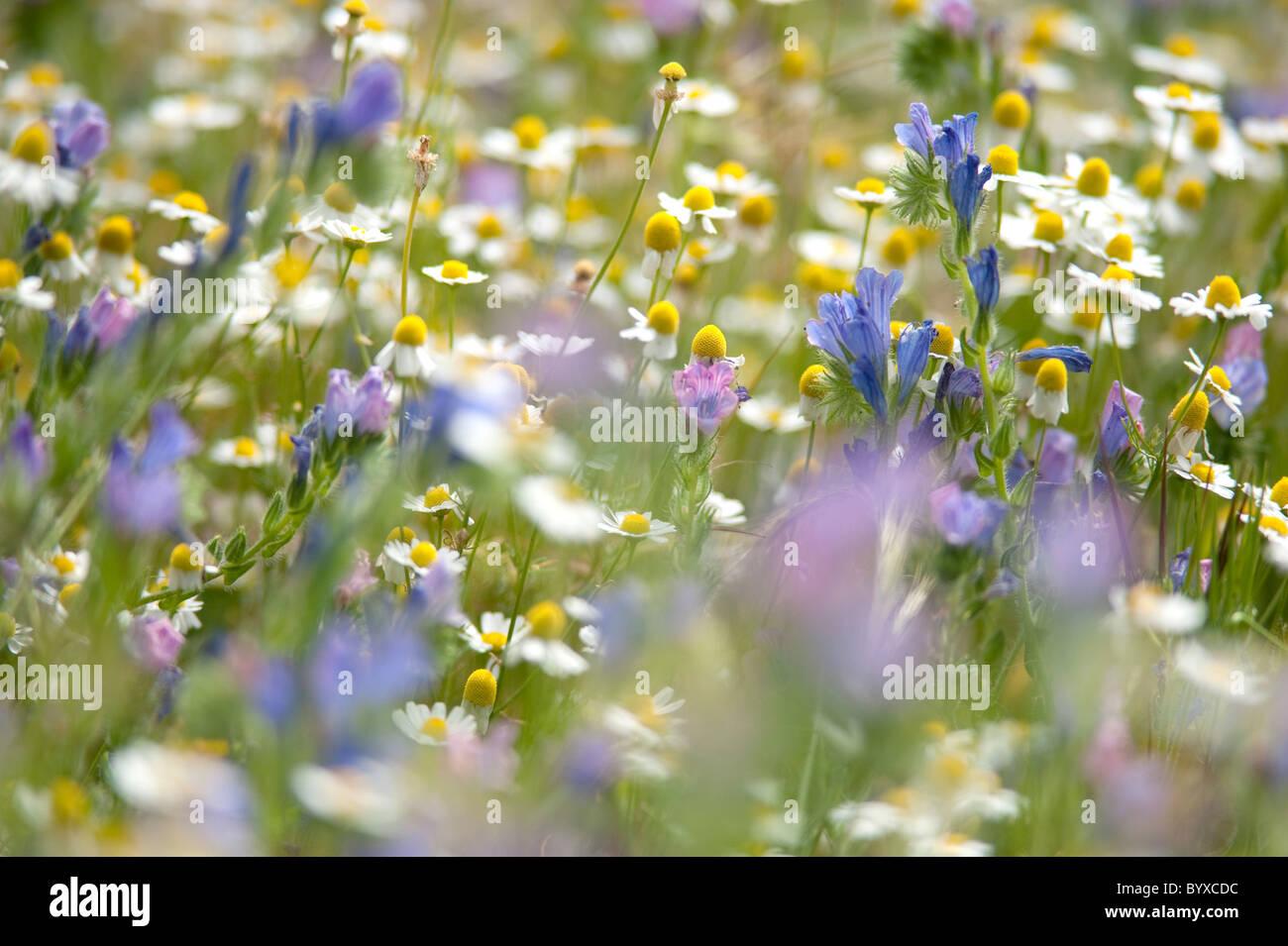 Wildflower Meadow Lesvos Greece - Stock Image