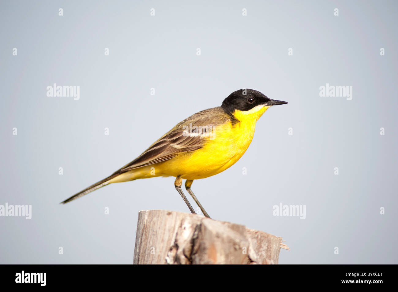 Black Headed Wagtail Motacilla flava Lesvos Greece - Stock Image