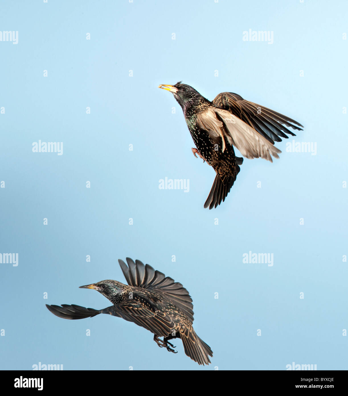 Starling Sturnus Vulgaris UK in flight - Stock Image