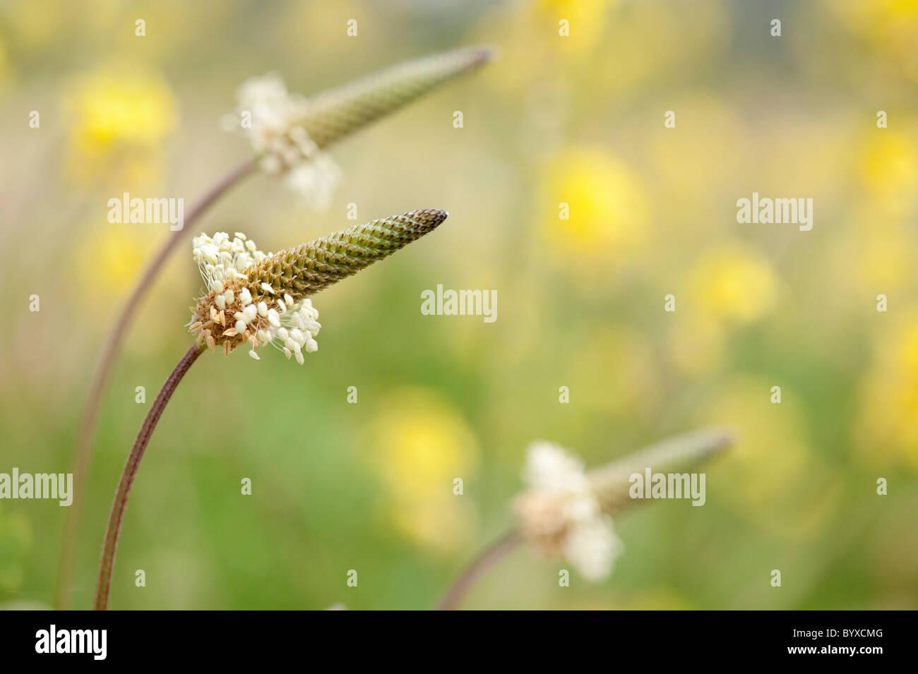 Ribwort Plantago lanceolata Lesvos Greece - Stock Image