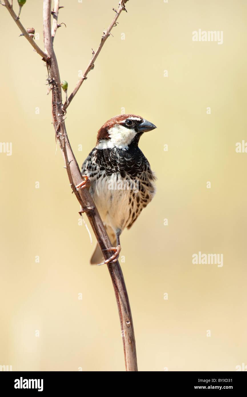 Spanish Sparrow Passer hispaniolensis Greece Stock Photo