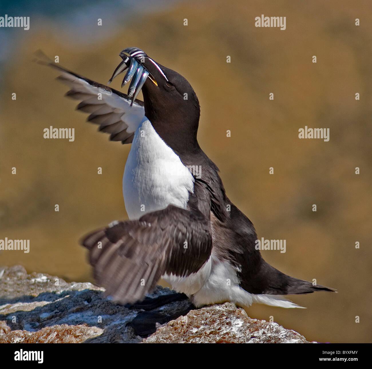 Razorbill alca torda Lundy island Bristol Channel UK - Stock Image