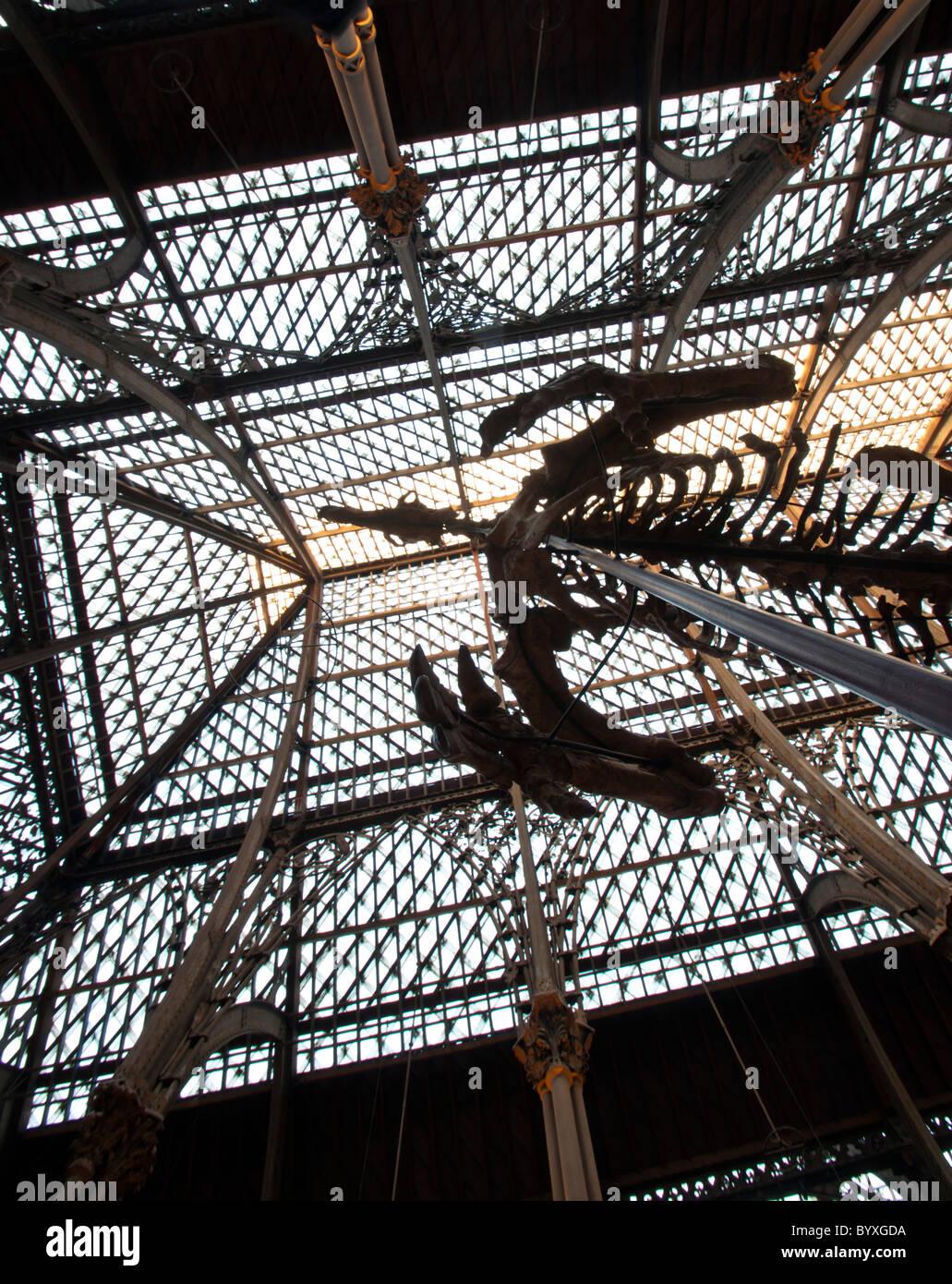 Dinosaur at Pitt Rivers Museum Oxford - Stock Image