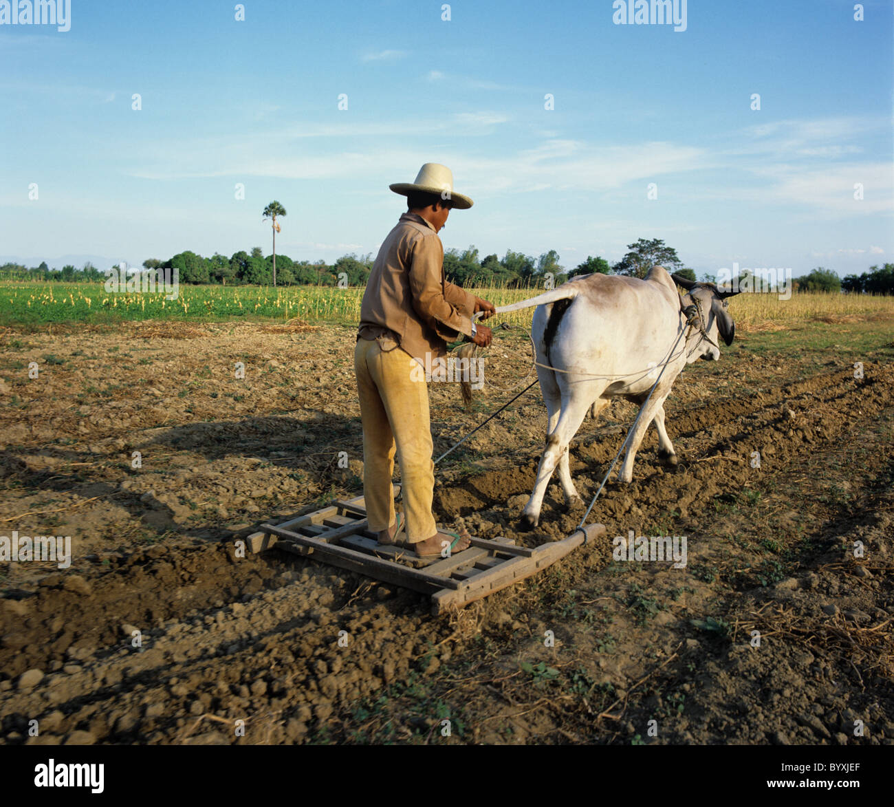 Filipino farmerbreaking up ploughed field by satanding on a small press behind a Brahman ox - Stock Image
