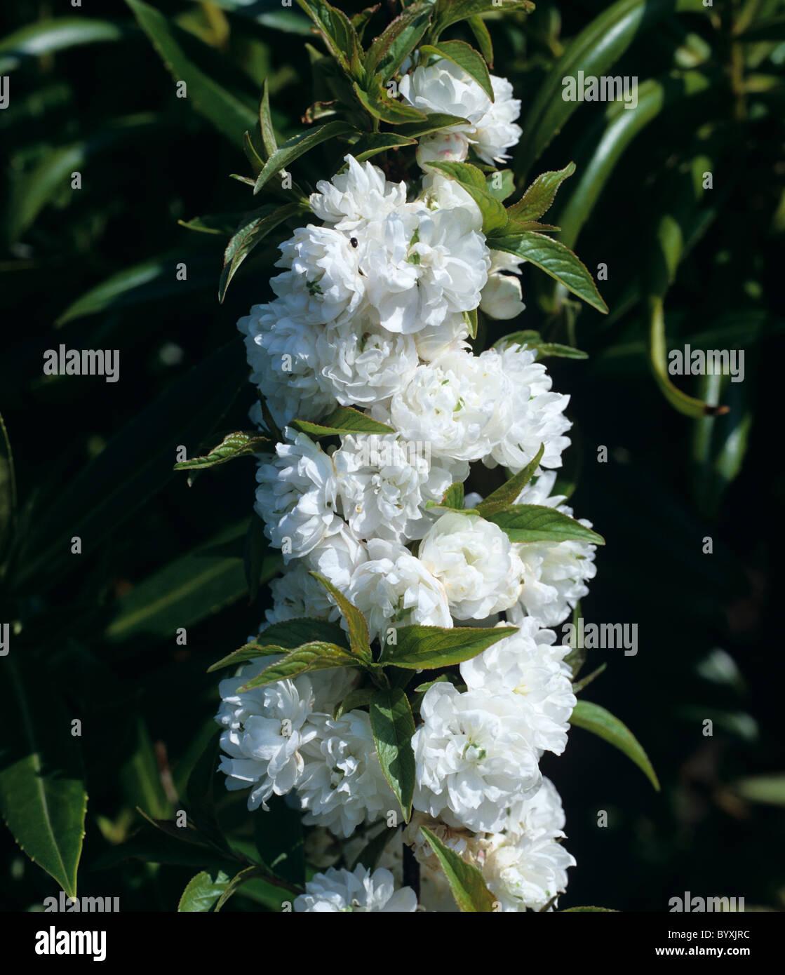 Prunus glandulosa 'Alba Plena' flowering cherry - Stock Image
