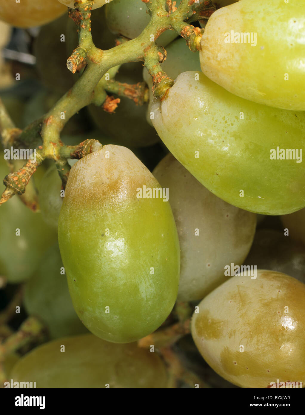 Sulphur dioxide bleaching of grapes, sulphur dioxide is used as a preservative - Stock Image