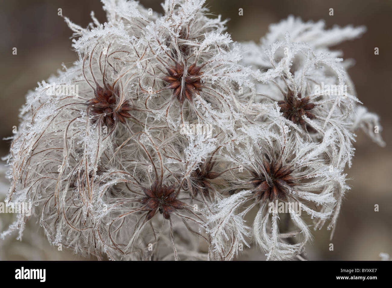 Old Man's Beard Clematis vitalba with frost - Stock Image