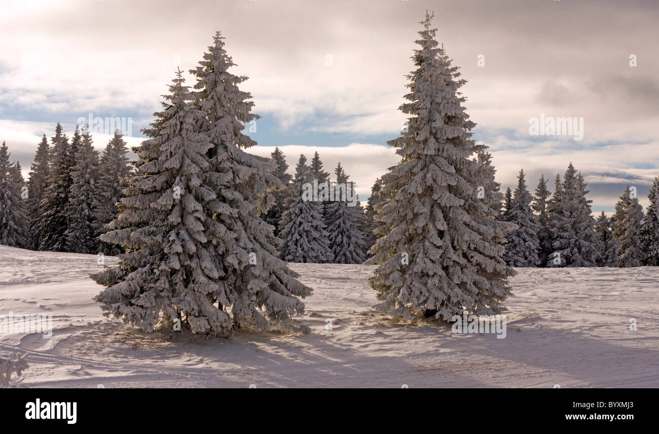 Spruces in the cold winter forest. - Stock Image