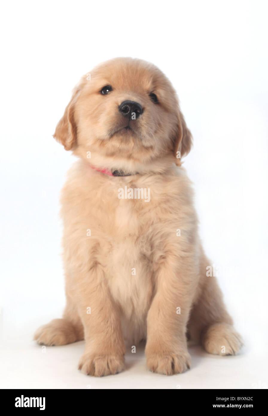 portrait of golden retriever puppy - Stock Image