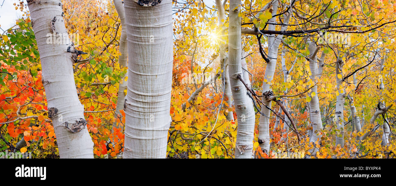 Close Up Of Fall Color And Trunks Of Aspen Trees And Sun Inyo Stock