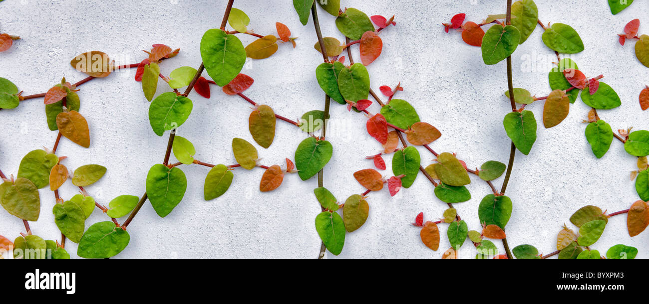 Climbing vine on white wall. Los Angeles, CA - Stock Image