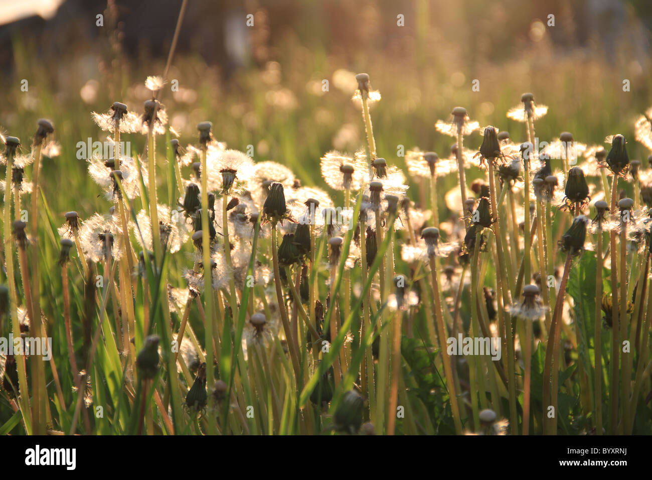 Dandelions lite by the sun while blowing in the wind. - Stock Image