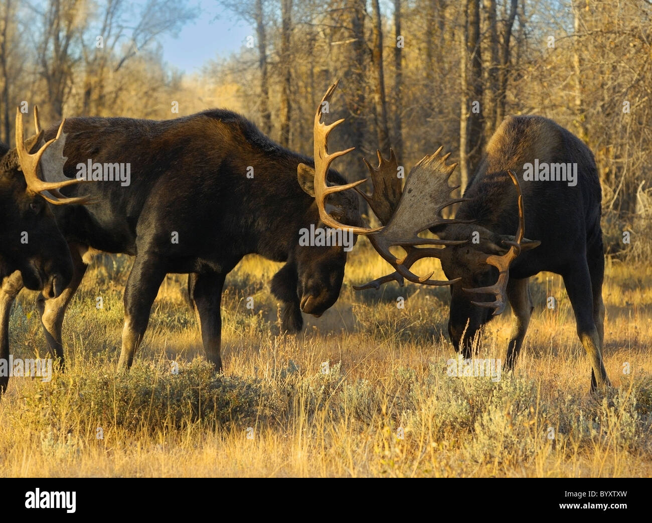 Bull Moose sparring at sunset in Grand Teton National Park. - Stock Image