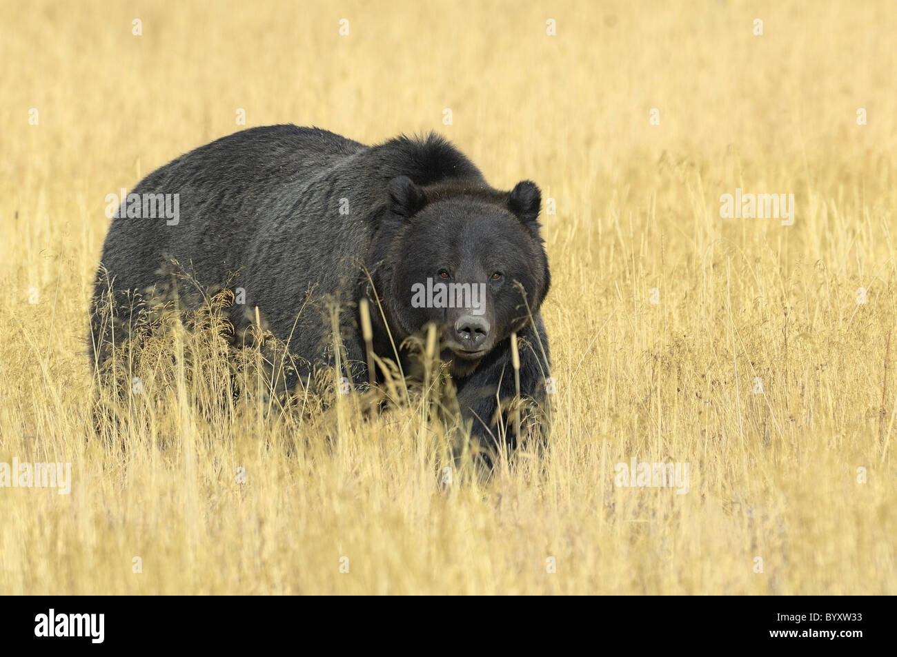 Beautiful black Grizzly Bear in the tall golden grasses of autumn in Yellowstone National Park. - Stock Image