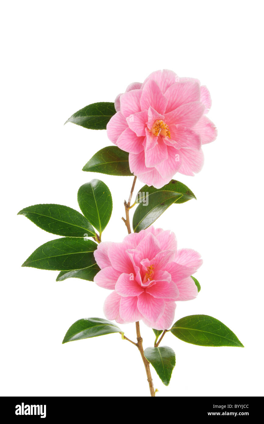 Camellia branch with two magenta flowers against white Stock Photo