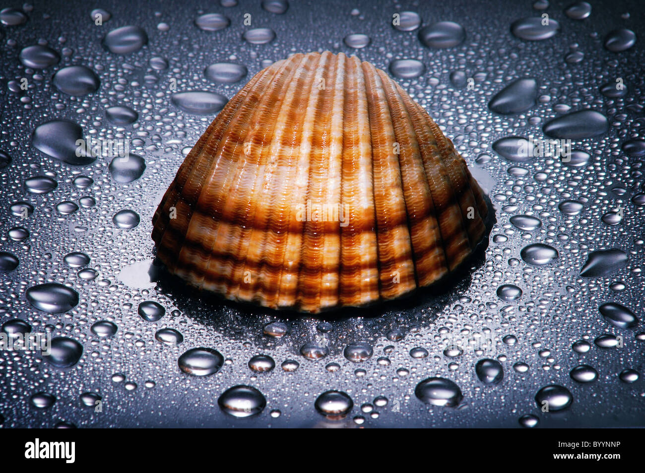 Seashell , water droplets , dramatic lighting , close up - Stock Image