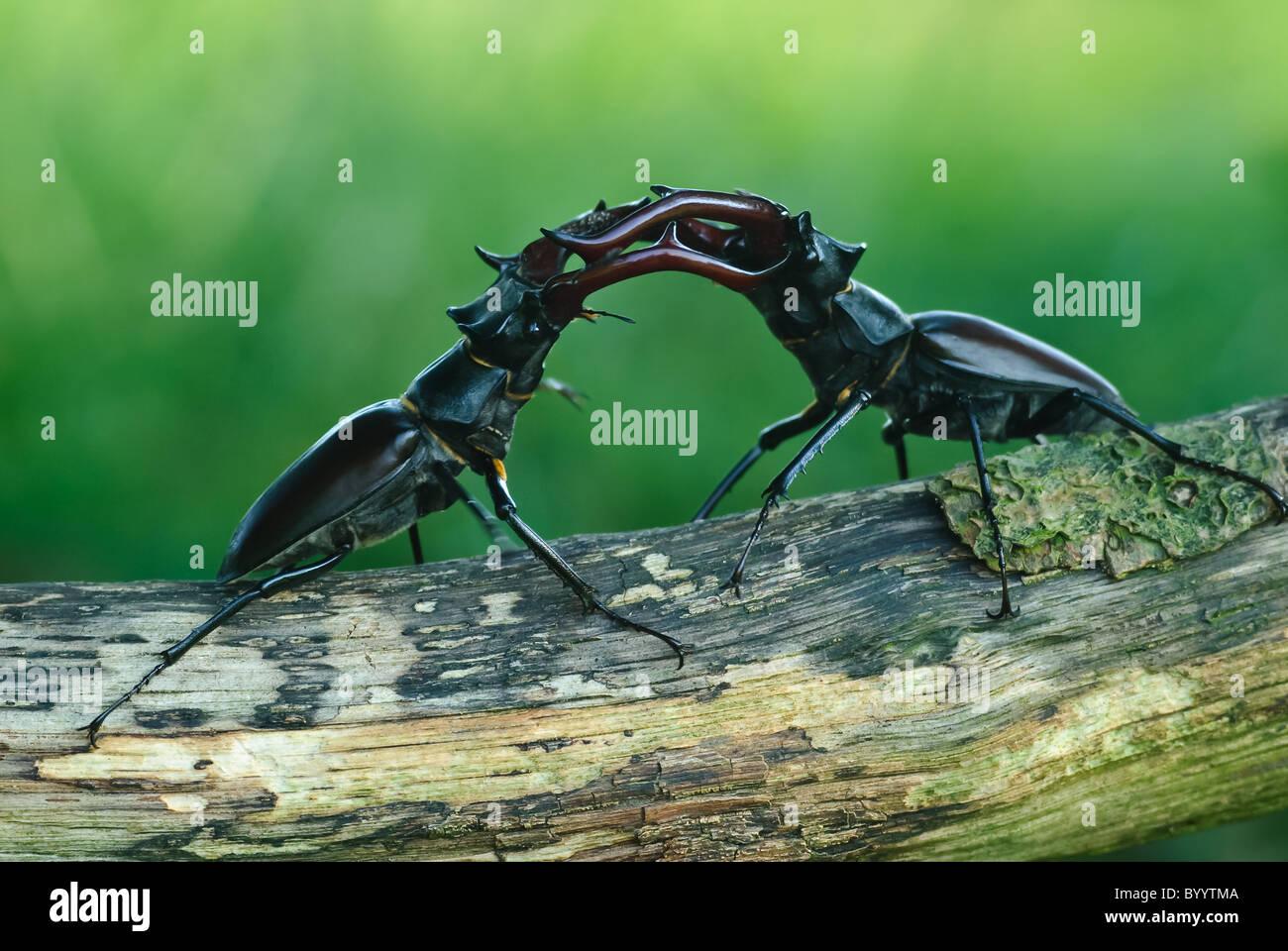 Fighting stag beetles [Lucanus cervus] a courtship ritual - Stock Image