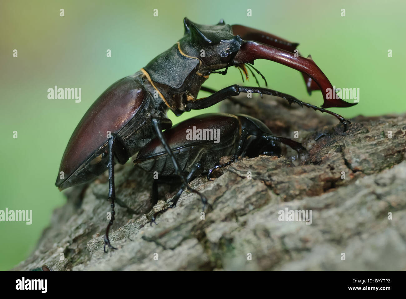stag beetle Lucanus cervus at courtship display Stock Photo