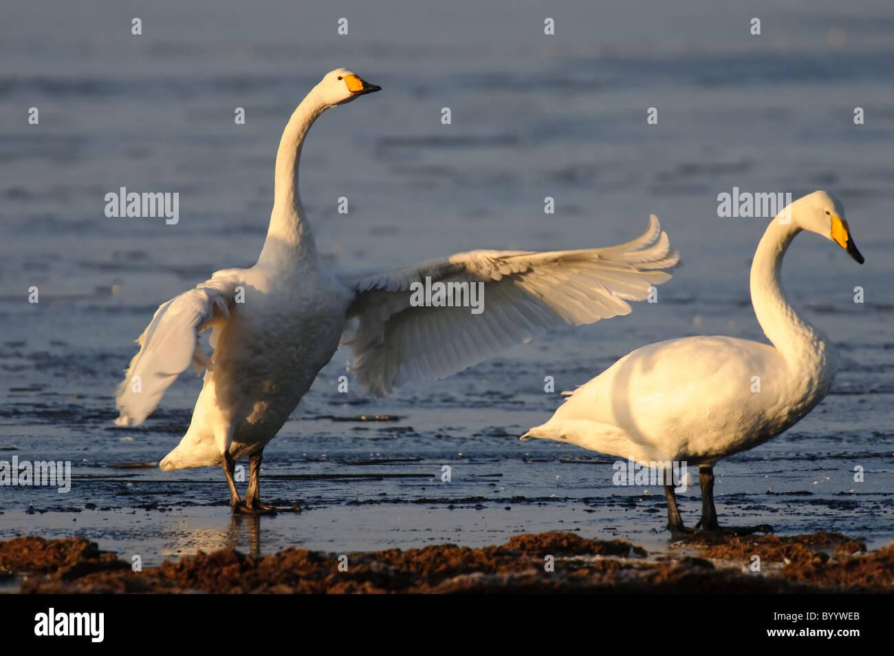Singschwan (Cygnus cygnus) Rastvogel, Schwan, Singschwan, Tier, Voegel, Vogel, Whooper Swan, Winter, Zugvogel - Stock Image