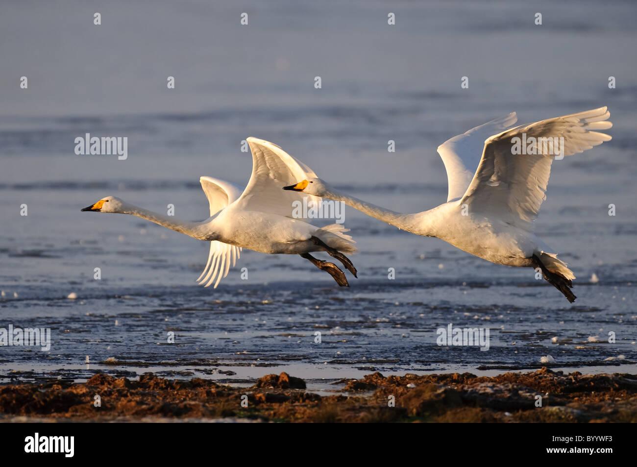 schwäne zugvögel