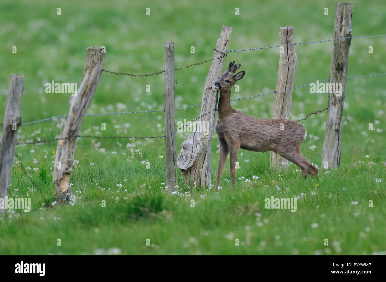 European roe deer [Capreolus capreolus], germany - Stock Image