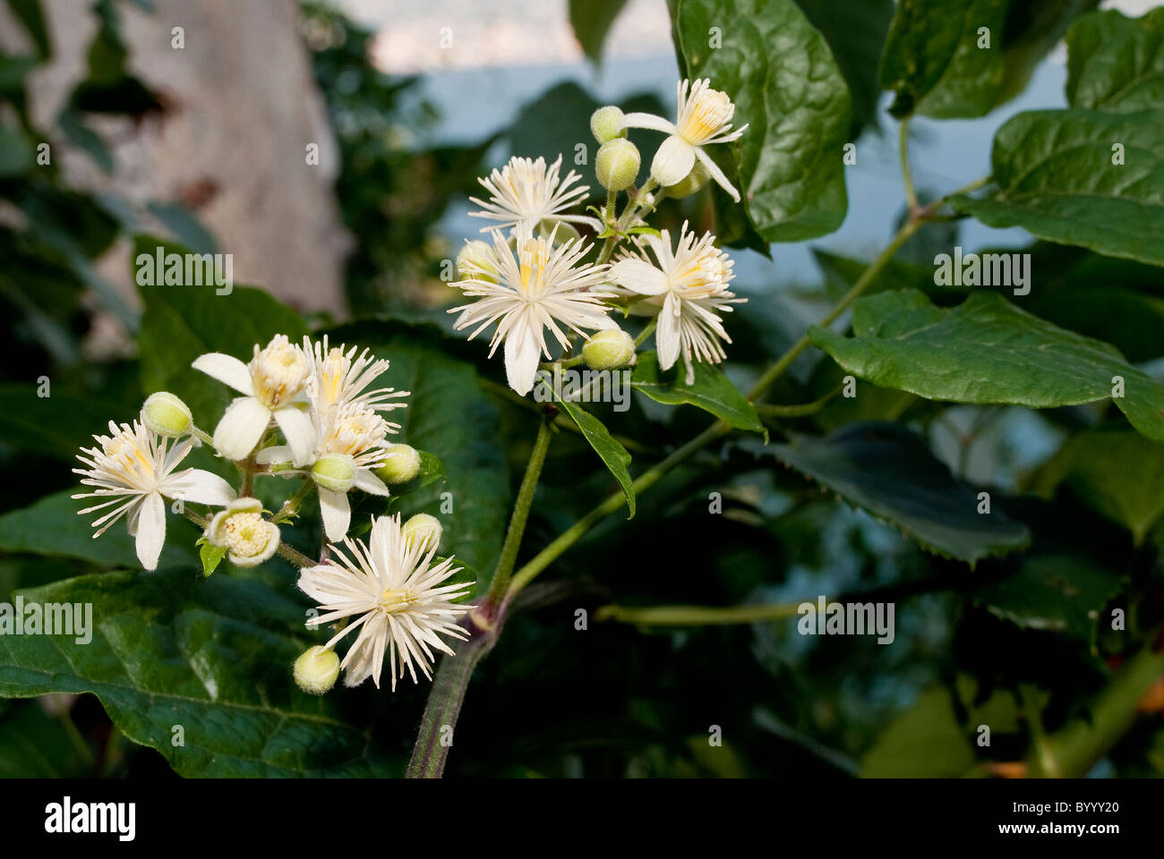 Old Mans Beard, Travellerss Joy (Clematis vitalba), flowering tendril. - Stock Image