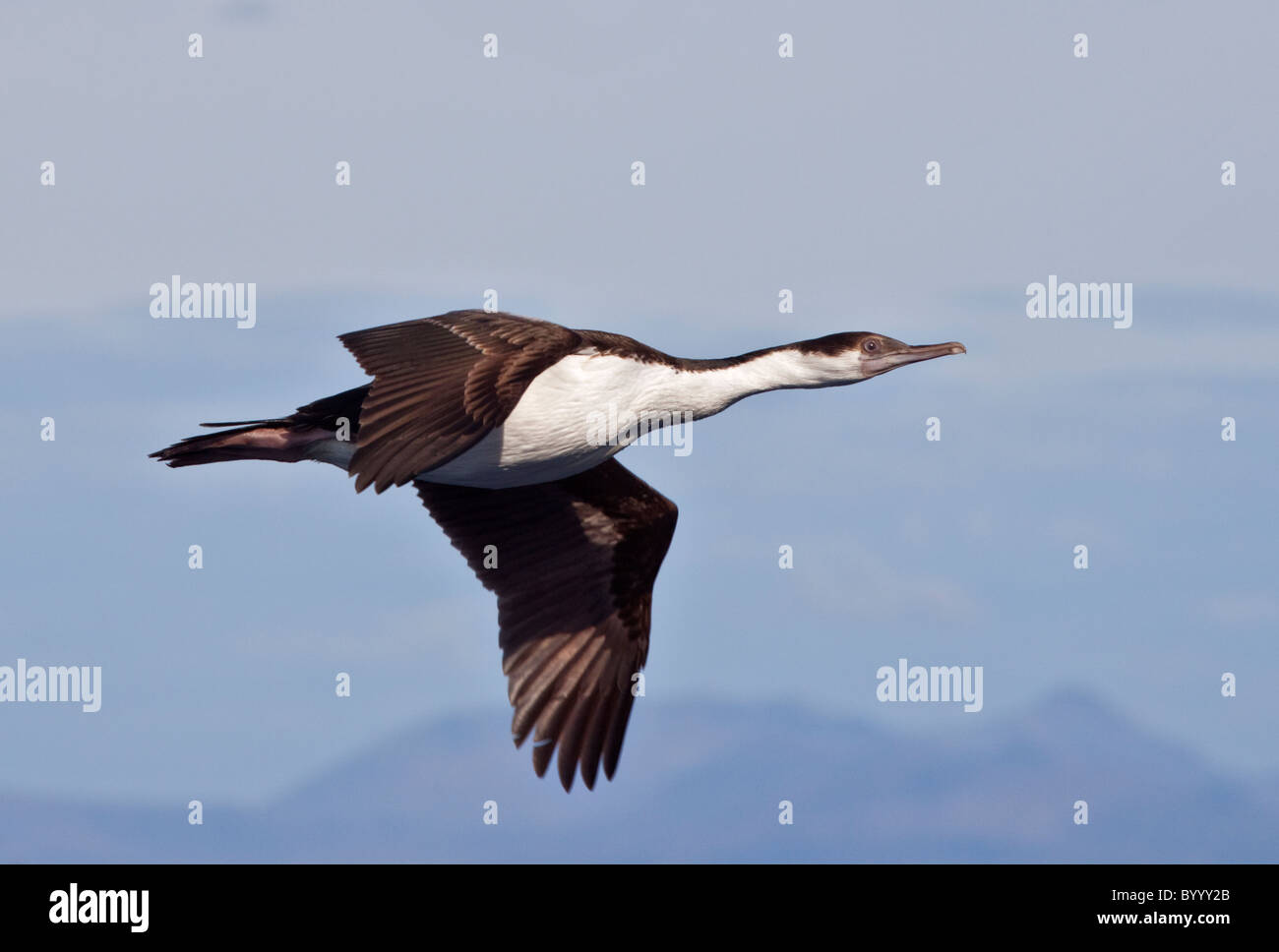 Imperial or King Shag (phalacrocorax atriceps), Cape Horn, South America - Stock Image