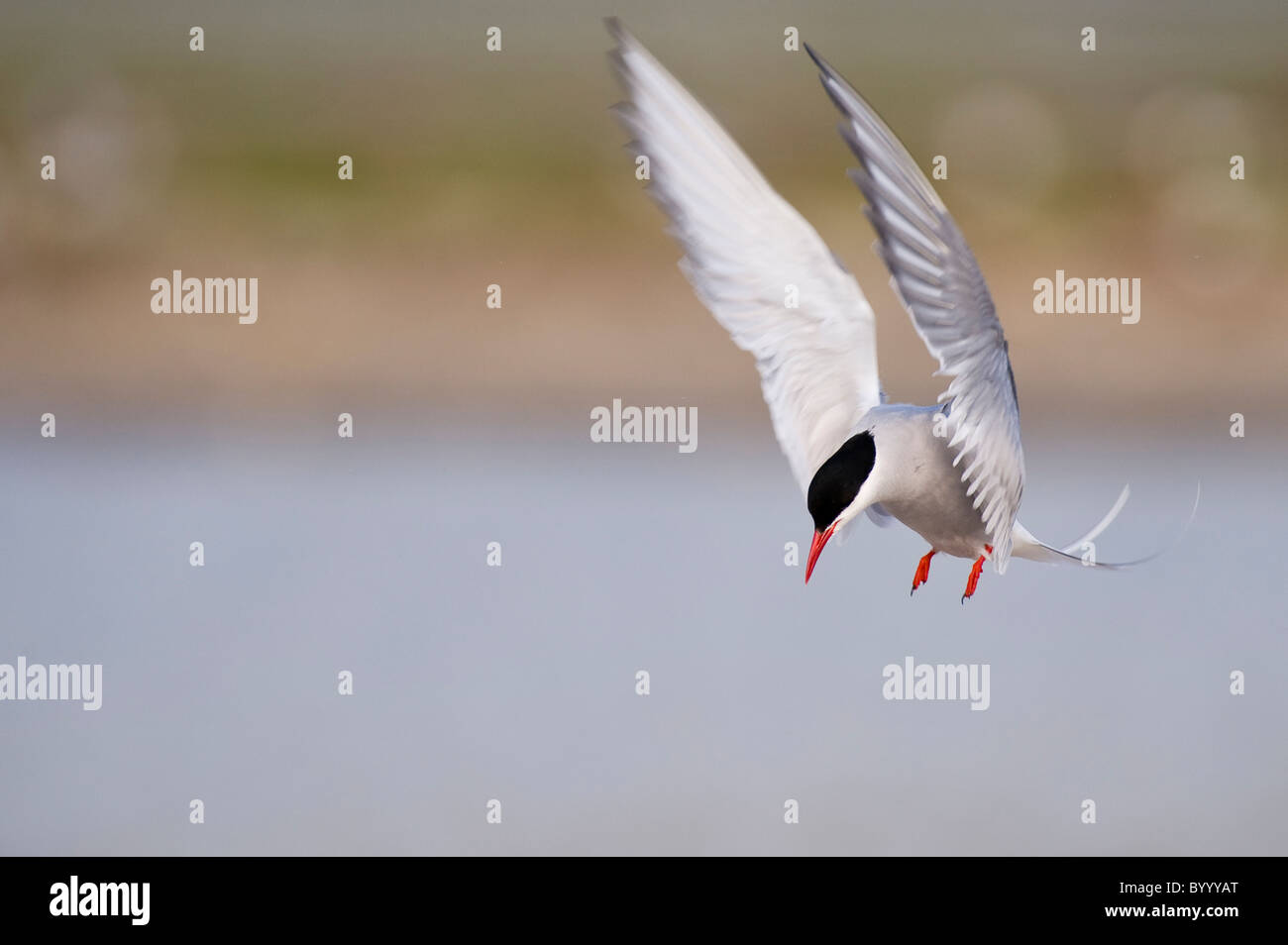 common tern Sterna hirundo Fluss-Seeschwalbe - Stock Image