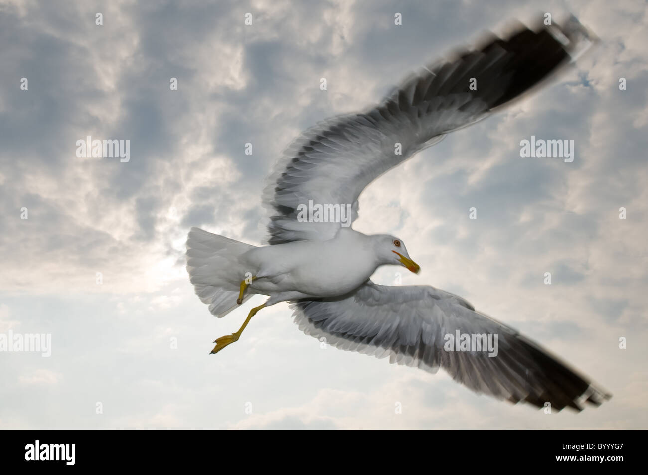 lesser black-backed gull Larus fuscus bird seabird, wadden sea north germany Stock Photo
