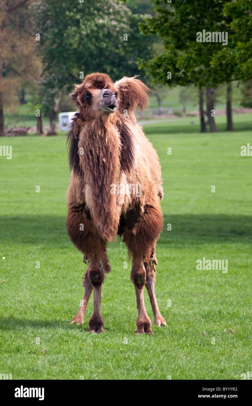rocky deserts of Central and Eastern Asia Bactrian Camel - Stock Image
