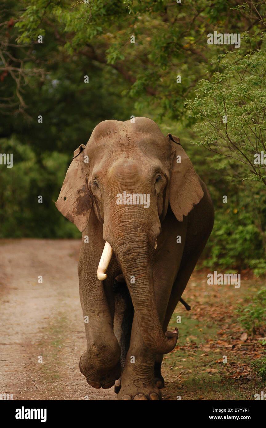 83dde0124 Indian Asian Elephant Tusker On Stock Photos   Indian Asian Elephant ...