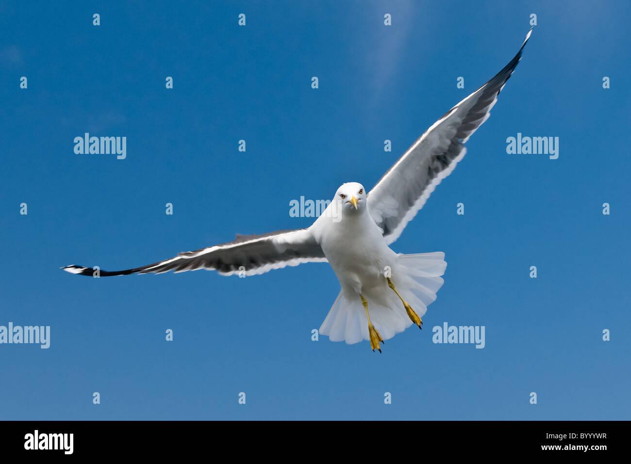 lesser black-backed gull Larus fuscus bird seabird, wadden sea north germany Stock Photo