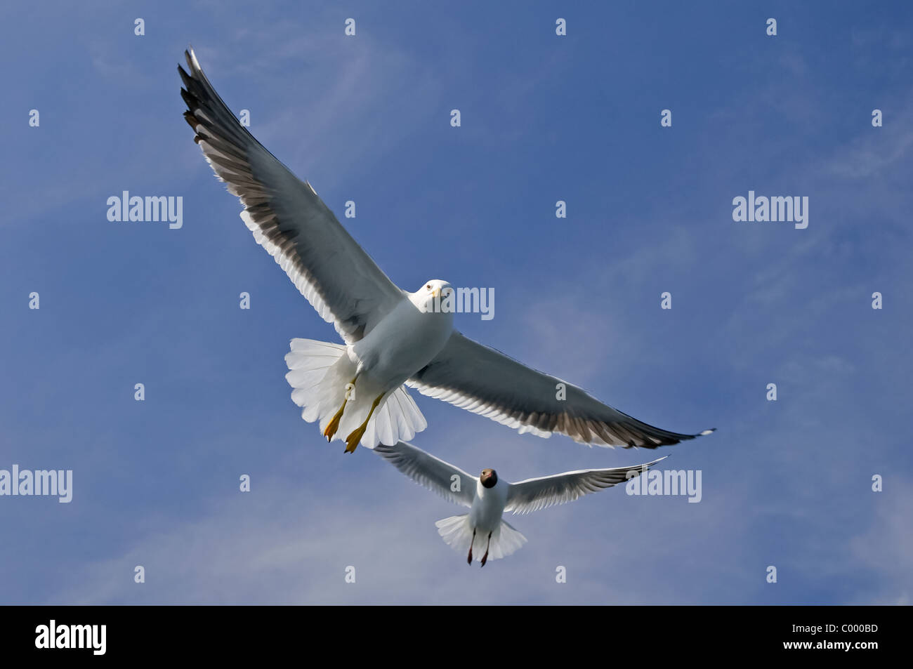 flying lesser black-backed gull [Larus fuscus] at the german baltic sea, ruegen island Stock Photo
