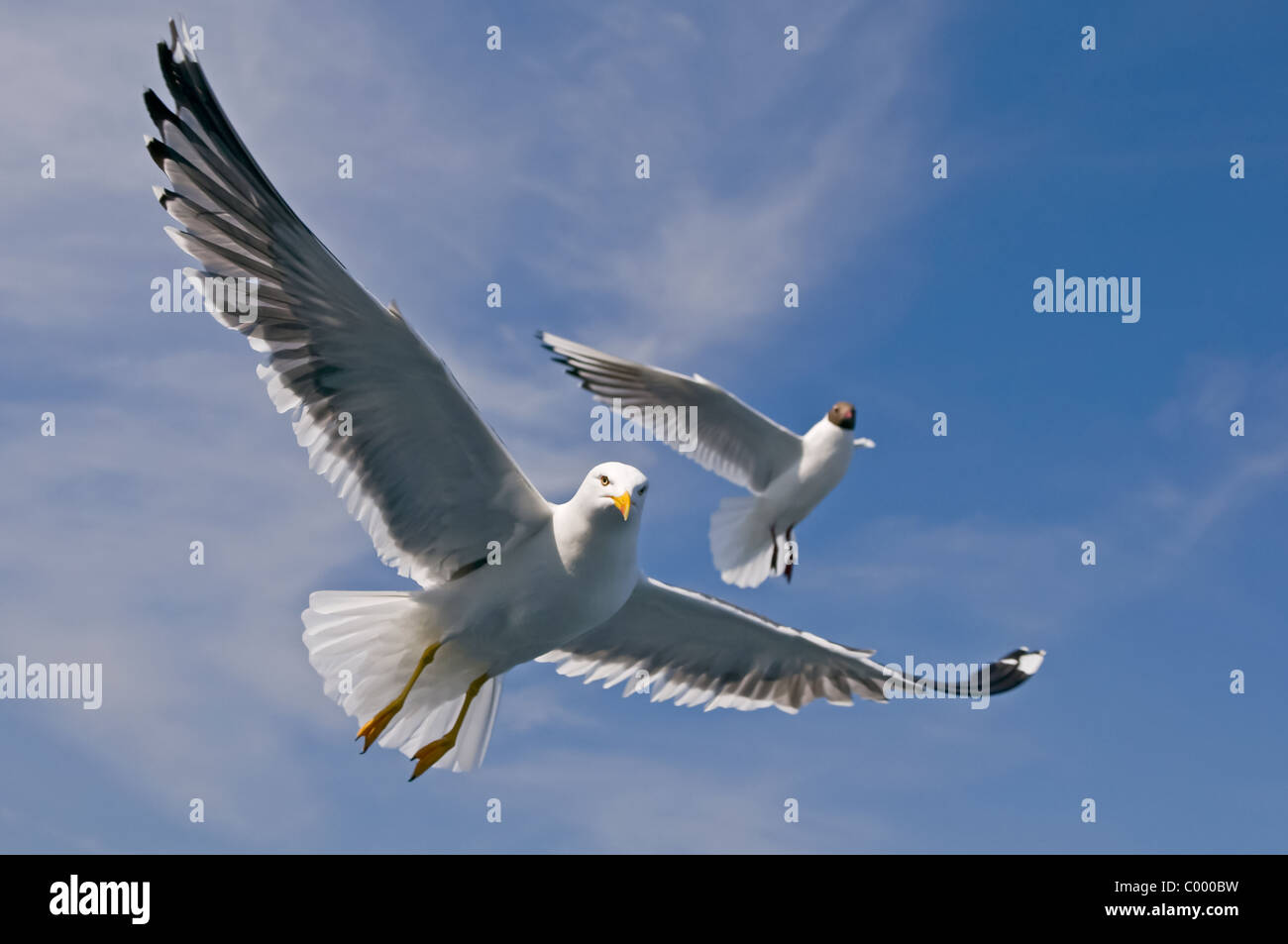 flying lesser black-backed gull [Larus fuscus] at the german baltic sea, ruegen island Stock Photo