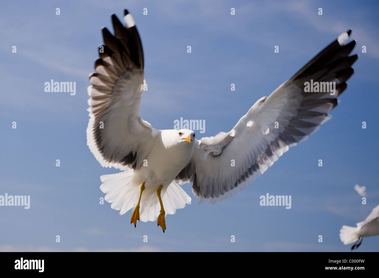 flying lesser black-backed gull [Larus fuscus] at the german baltic sea, ruegen island - Stock Image