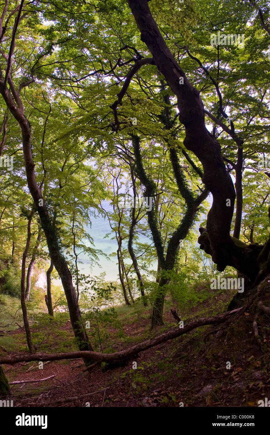 beeche forest in Nationalpark Jasmund Ostsee Ruegen germany - Stock Image