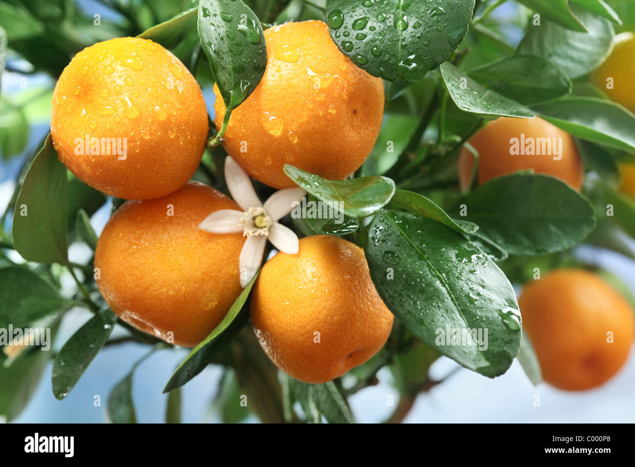 Ripe tangerines on a tree branch. Blue sky on the background. Stock Photo