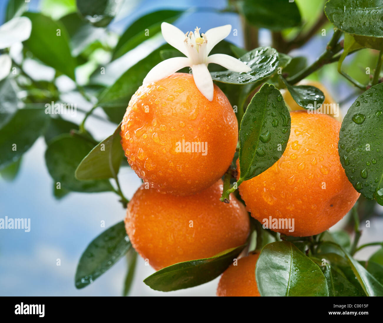 Ripe tangerines on a tree branch. Blue sky on the background. - Stock Image