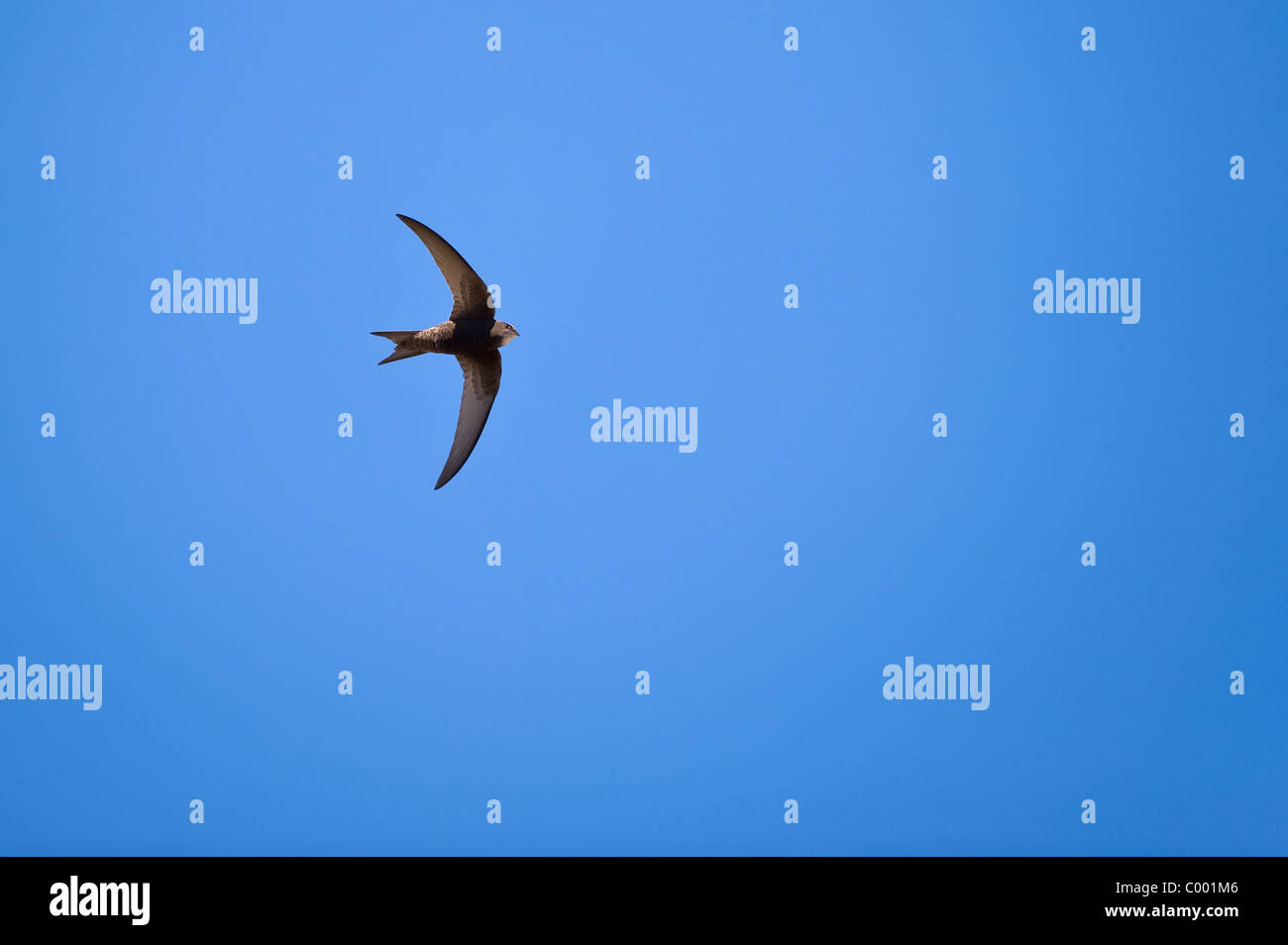 common swift, Apus apus, black martin, swift - Stock Image